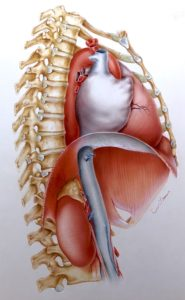 An anatomical illustration depicting the close proximity of the adrenal gland to the heart. Watercolor and airbrush image by Jim Wilson.